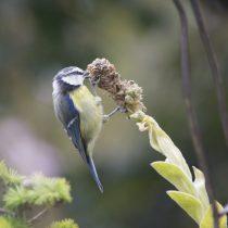 (10) Blaumeise am Samenstand einer Königskerze