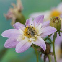 (11) Bienenbesuch auf einer Mignon-Dahlie