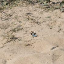 (19) Die Blauflügelige Ödlandschrecke (Oedipoda caerulescens) im Flug