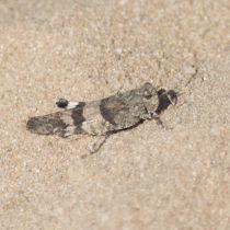 (20) Die Blauflügelige Ödlandschrecke (Oedipoda caerulescens), sitzend