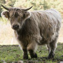 (18) Schottisches Hochlandrind, Herde in der Nähe von Kall