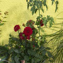 (14) Rote Dahlien und Tomaten in einem alten Eimer