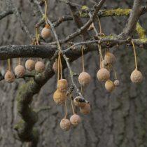 (12) Der alte Ginkgo in Rodenkirchen hat viele Früchte