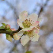 Nr. 96 Apfelblüte