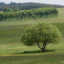Nr. 108 Eifelbaum