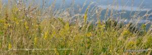 Sommerwiese mit vielen Gräsern und Blumen