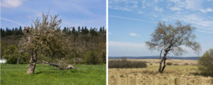 Zwei Digitalfotos: Apfelbaum und Birke
