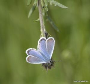 Bläuling (Polyommatus) auf Flockenblume