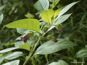 Tollkirsche (Atropa Belladonna) im Naturschutzgebiet