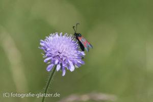 Blutströpfchen-Widderchen auf Scabiose (Witwenblume),