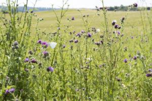 Wildblumen und Schmetterlinge