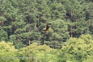Ein Rotmilan fliegt über das Urfttal