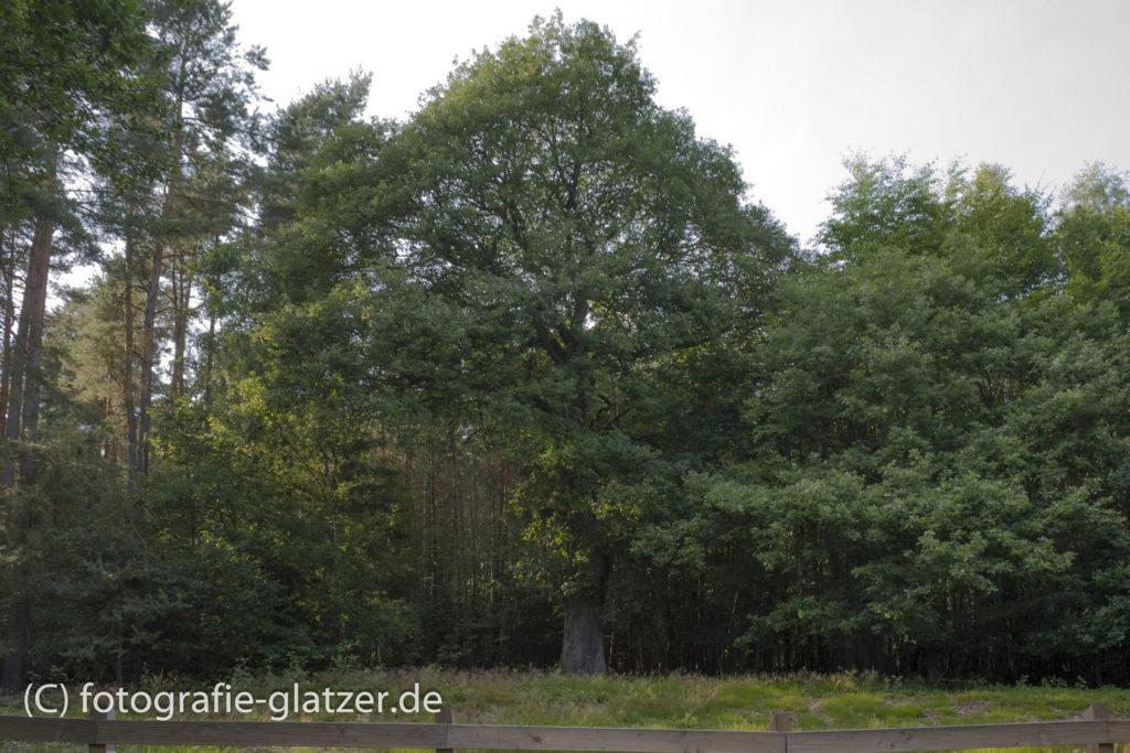 Die Eiche inmitten einer Baumgruppe