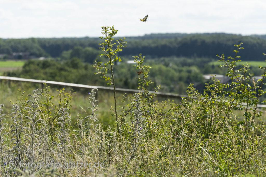 Ein Schwalbenschwanz fliegt über die blühende Wiese auf dem Rodderberg