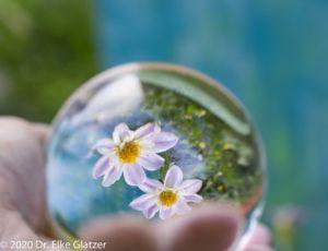 Eine Hand hält eine Glaskuge mit zwei Dahlienblüten