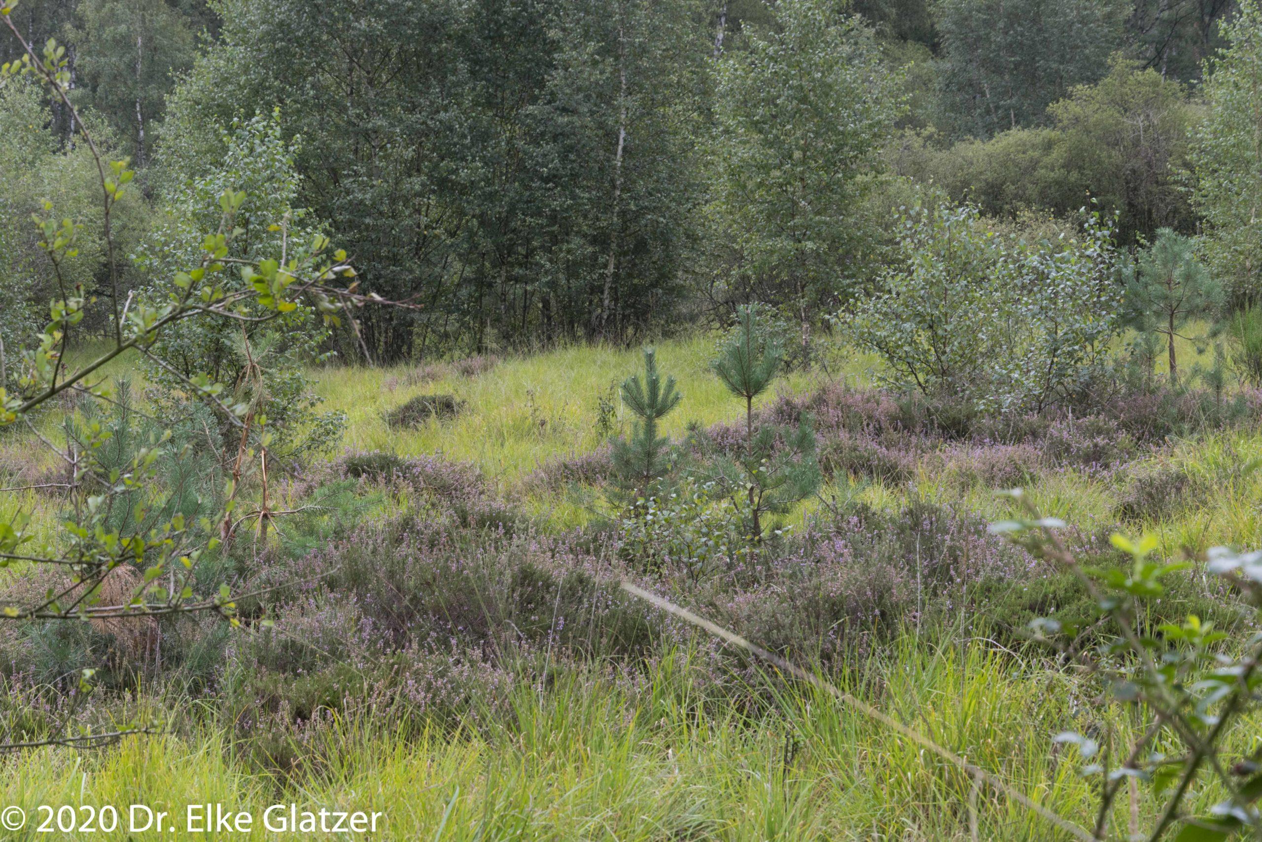 violettes Heidekraut blüht zwischen jungen Kiefern und Birken