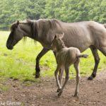 Tarpane im Neandertal: Stute mit Fohlen