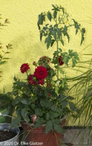 Rote Dahlien und Tomaten in einem alten Eimer